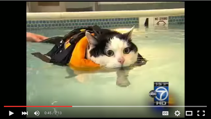 Cat lifejacket video: Holly the cat gets exercise in local pool