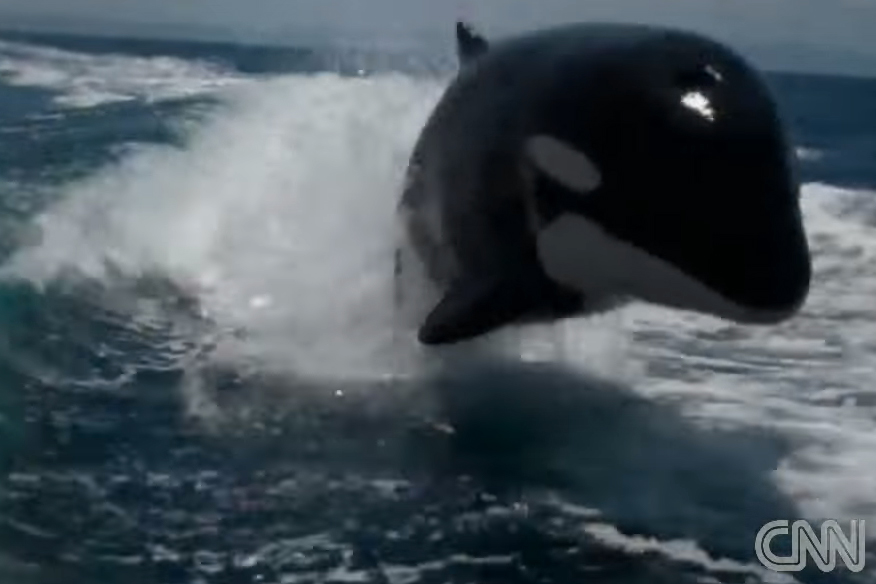 Killer whales play in wake of speedboat