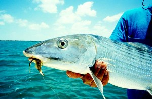 Bonefish are one of the most prized and popular targets of flats fishermen.