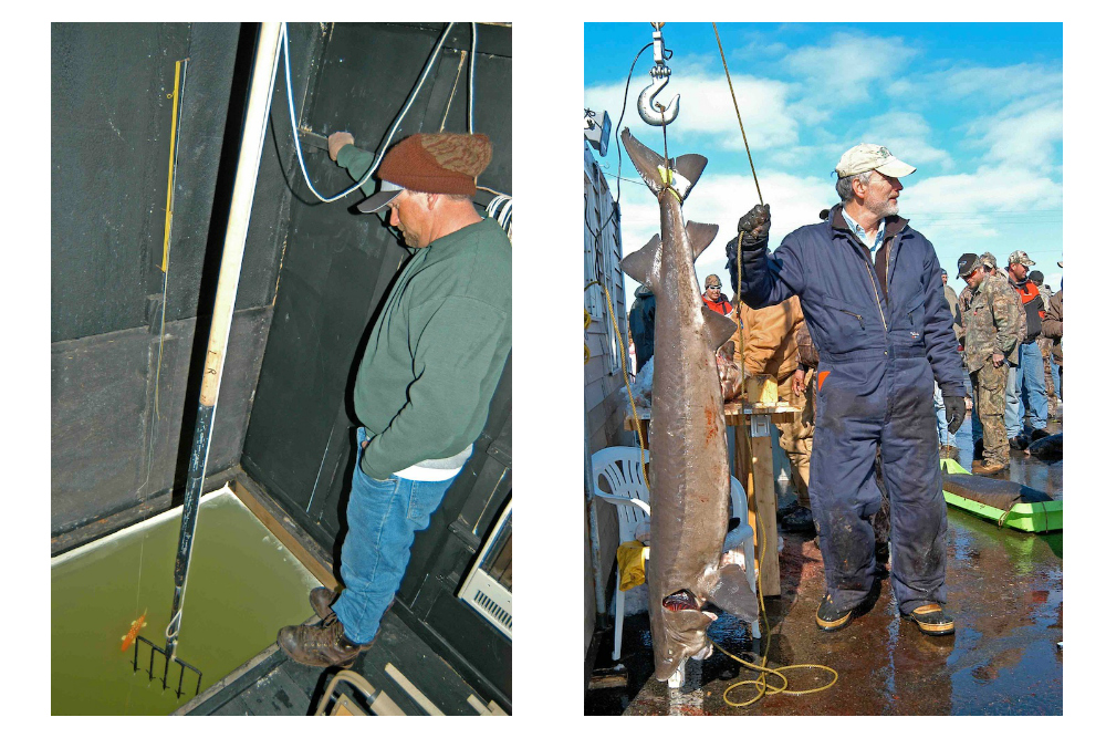 At left, a fisherman stands over a refrigerator-size hole on Lake Winnebago during a recent sturgeon-spearing season, hoping one of the prehistoric fish swims into view. At right, Mike Staggs, Wisconsin's former director of fisheries management, weighs a sturgeon at the Department of Natural Resources' check-in/registration station on the northeastern shoreline of Lake Winnebago. Patrick Durkin photos.