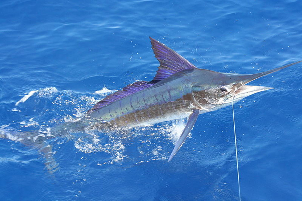 Billfish—and lots of them—put Kenya on the bucket list.