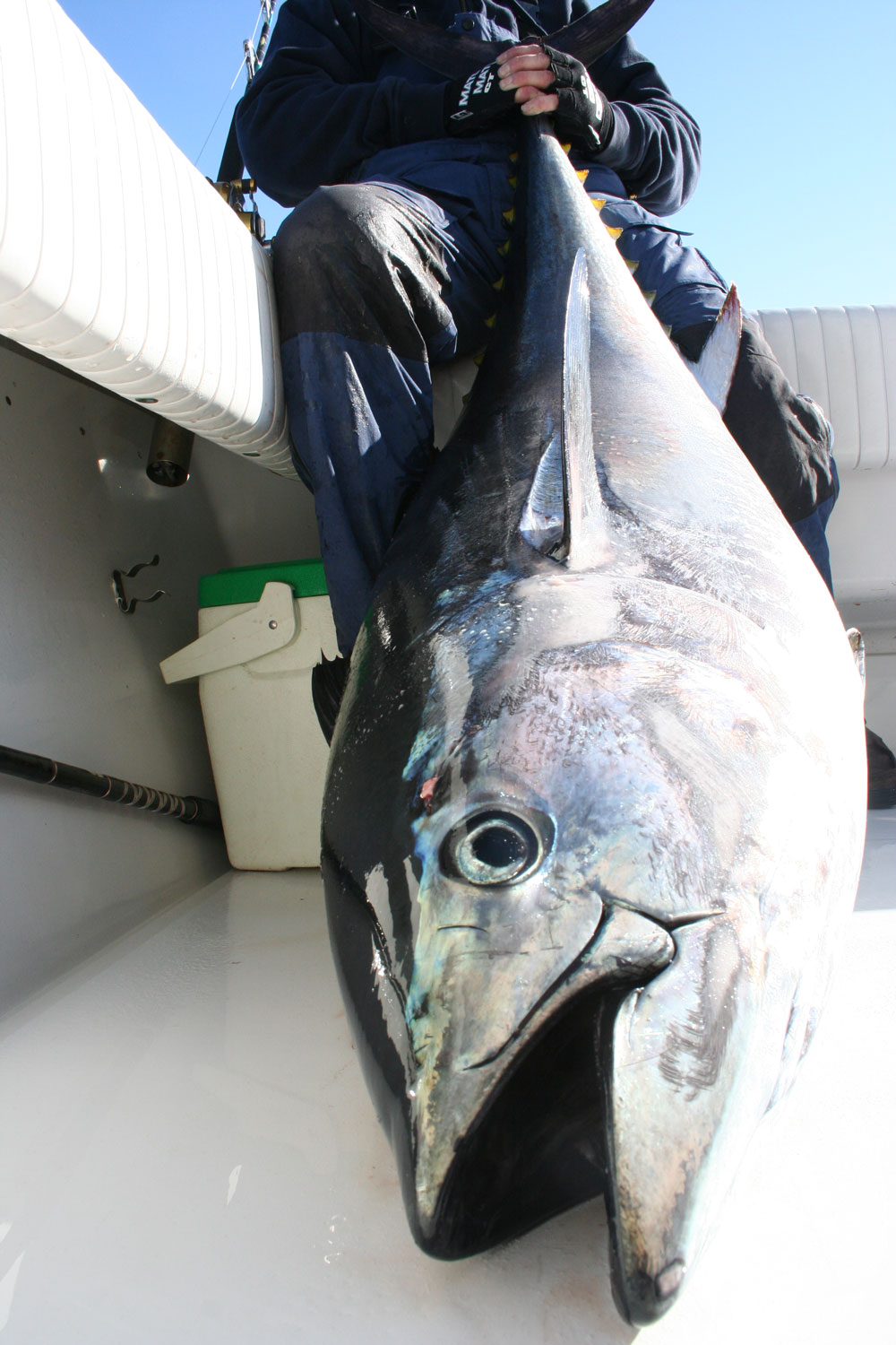 "While this bluefin tuna qualifies as a ""giant"" at over 73"" in length, it's rather average for a giant bluefin caught off the outer banks."