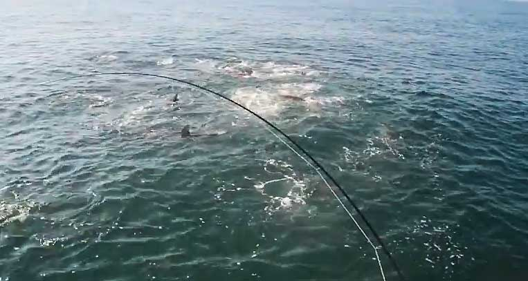 Fins to the left, fins to the right... hungry sharks and false albacore shred a school of bay anchovies while an angler hooks up.