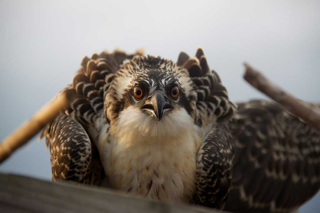 A juvenile osprey makes a fuss at Jug Bay off the Patuxent River, August 4. 2013. We banded a half dozen young ospreys as part of a tracking program undertaken by the U.S. Fish and Wildlife, and I wrote a story about it for national boating magazine's blog. Photo: Gary Reich