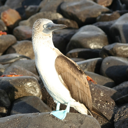 A blue-footed booby greets the day on Espanola, an island in the Galapagos. Photo by Rachel Balaban/courtesy CruisingWorld.com.