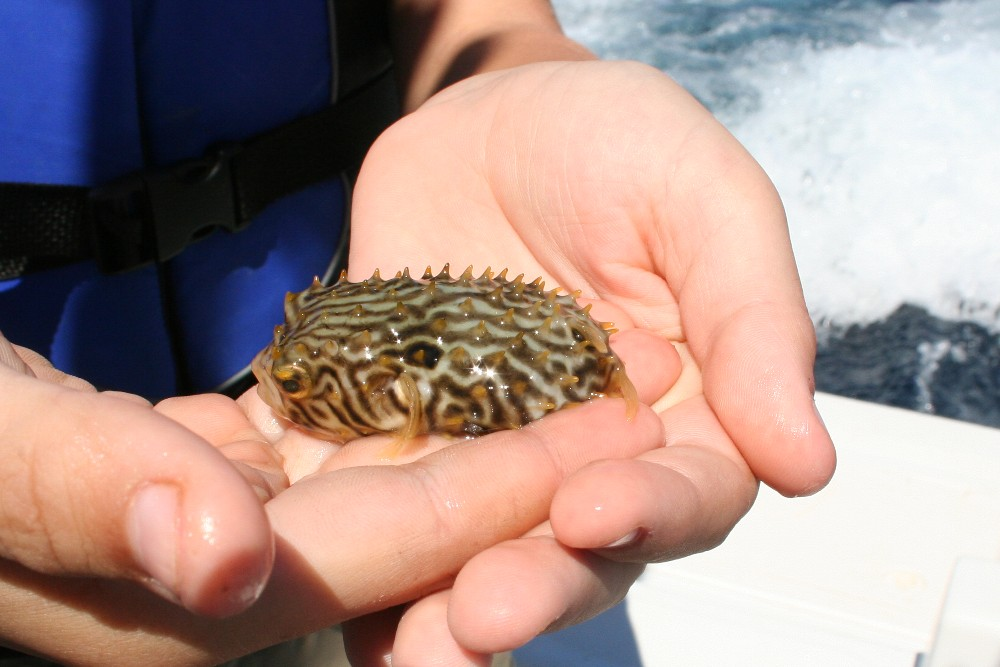 Picture this puffer fish in the open ocean for What is a puffer fish